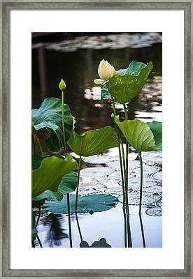 Lotuses In The Pond Framed Print by Jenny Rainbow