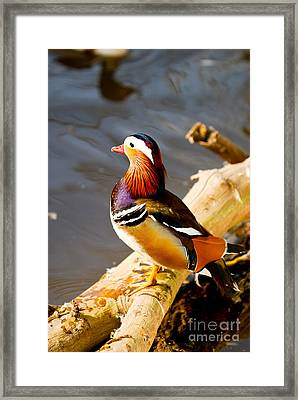 Lovely Duckling Framed Print by Syed Aqueel