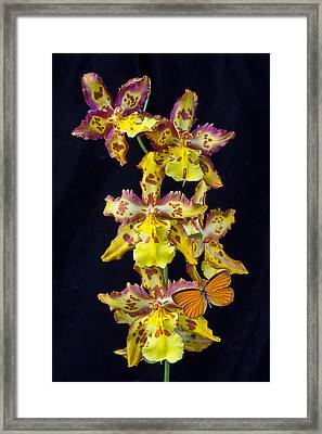 Lovely Orchid With Butterfly Framed Print by Garry Gay