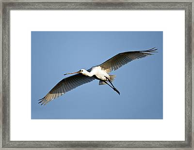 Low Angle View Of A Eurasian Spoonbill Framed Print by Panoramic Images