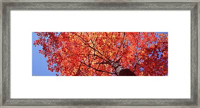Low Angle View Of A Maple Tree, Acadia Framed Print by Panoramic Images