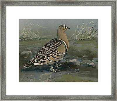 Lowe's Sand Grouse Framed Print by Louis Agassiz Fuertes