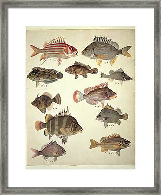 Ls Plate 122: John Reeves Collection Framed Print by Natural History Museum, London
