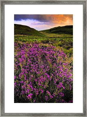 Lucky Heather Framed Print by Meirion Matthias