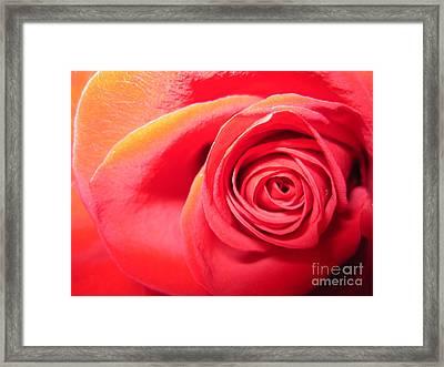 Luminous Red Rose 1 Framed Print by Tara  Shalton