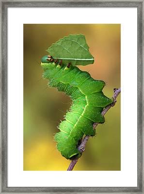Luna Moth Caterpillar Eating Framed Print by Robert Jensen
