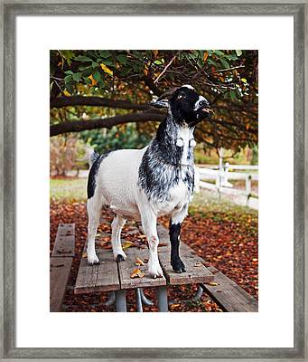 Lunch With Goat Framed Print by Rona Black