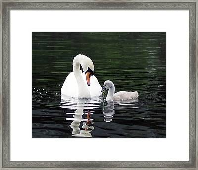 Lunchtime For Swan And Cygnet Framed Print by Rona Black