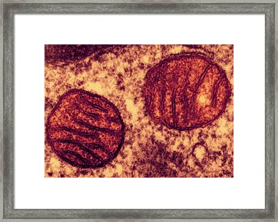 Lung Mitochondria Framed Print by Ami Images/dartmouth College - Louisa Howard