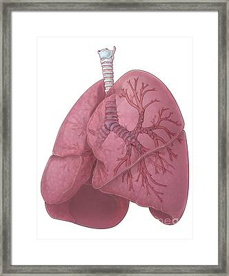 Lungs And Bronchi Framed Print by Evan Oto