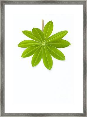 Lupin Leaf Framed Print by Anne Gilbert