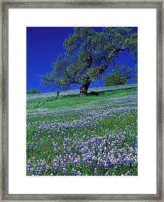 Lupine And The Leaning Tree Framed Print by Kathy Yates