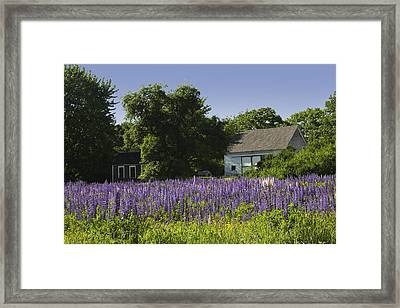 Lupine Flowers Near Round Pond Maine Framed Print by Keith Webber Jr