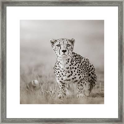 Lurking Cheetah Framed Print by Regina Mueller