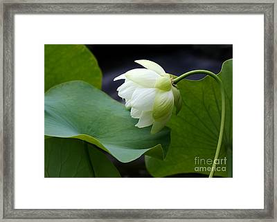 Luscious Lotus Framed Print by Sabrina L Ryan