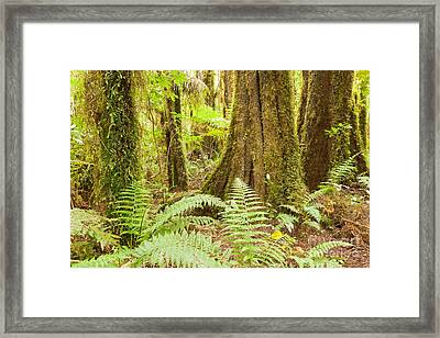 Lush Ferns In Sub-tropical Nz Kahikatea Rainforest Framed Print by Stephan Pietzko