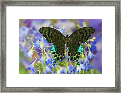 Luzon Peacock Swallowtail Butterfly Framed Print by Darrell Gulin