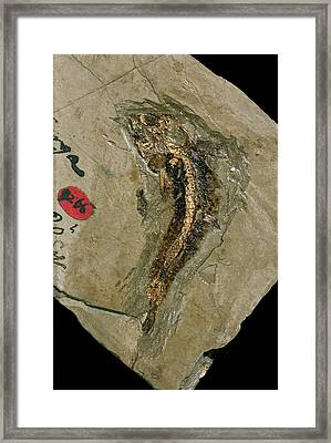 Lycoptera Bony Fish Fossil Framed Print by Natural History Museum, London