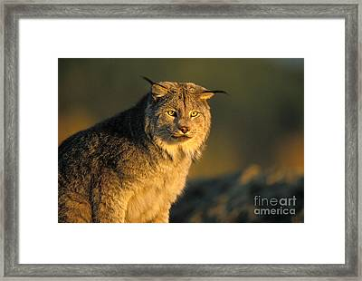Lynx Framed Print by Ron Sanford