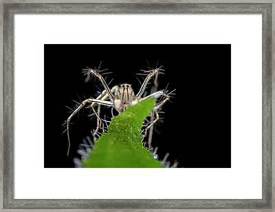 Lynx Spider Framed Print by Melvyn Yeo