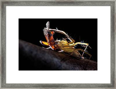 Lynx Spider With Prey Framed Print by Melvyn Yeo