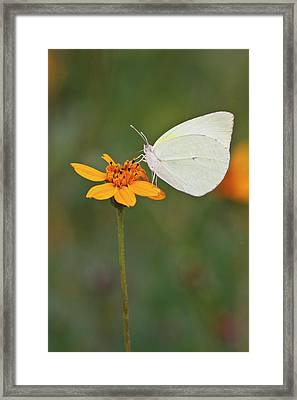 Lyside Sulphur (kricogonia Lyside Framed Print by Larry Ditto