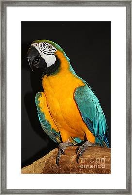 Macaw Hanging Out Framed Print by John Telfer
