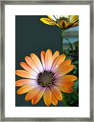 Macro Orange And Yellow Daisies With Water Droplets Framed Print by Danielle  Parent