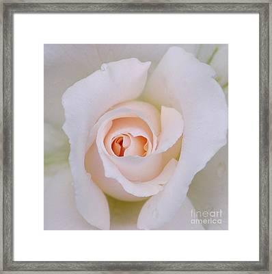 Macro White Rose Petals Framed Print by Patrick Dinneen
