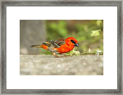 Madagascar Fody Framed Print by Science Photo Library