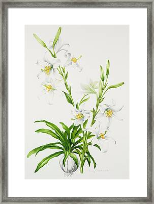 Madonna Lily Framed Print by Sally Crosthwaite