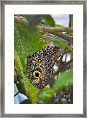 Magnificent Huge Butterfly In Mindo Ecuador Framed Print by Al Bourassa