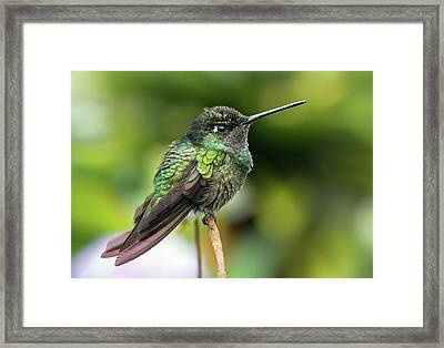 Magnificent Hummingbird Framed Print by Nicolas Reusens