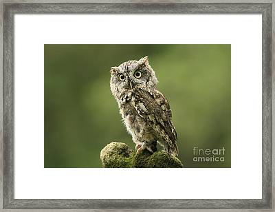 Magnifique  Eastern Screech Owl Framed Print by Inspired Nature Photography Fine Art Photography