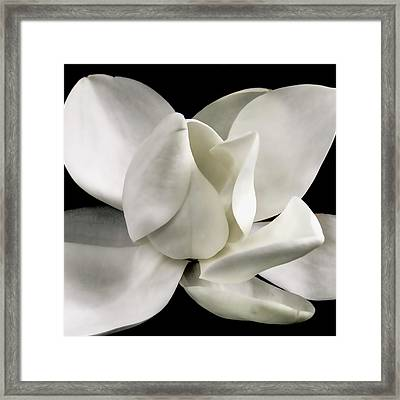 Magnolia Bloom Framed Print by David Patterson
