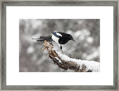Magpie Out On A Branch Framed Print by Tim Grams