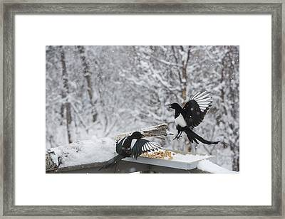 Magpies Dropping In For Lunch Framed Print by Tim Grams