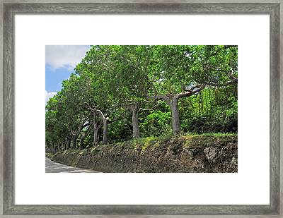 Mahogany Trees In Barbados Framed Print by Willie Harper