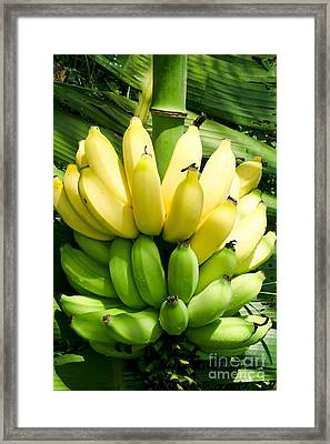 Maia Maole Banana Makawao Maui Hawaii Framed Print by Sharon Mau