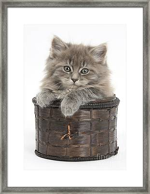 Maine Coon Kitten, Basket Framed Print by Mark Taylor