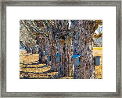 Maine Maple Framed Print by Melanie Leo