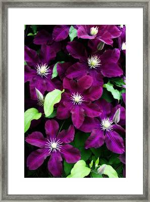 Majestic Amethyst Colored Clematis Framed Print by Kay Novy