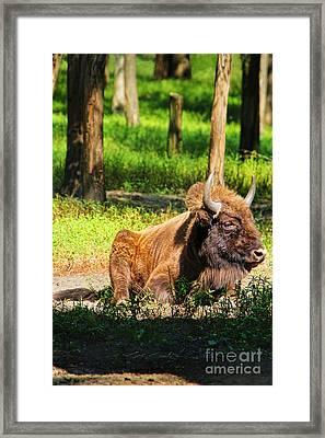 Majestic Bison Framed Print by Mariola Bitner