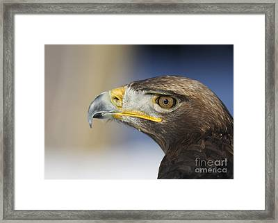 Majestic Golden Eagle Framed Print by Inspired Nature Photography Fine Art Photography
