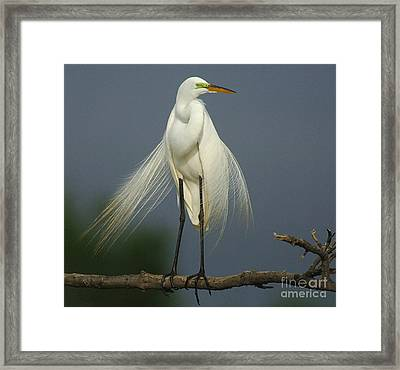 Majestic Great Egret Framed Print by Bob Christopher