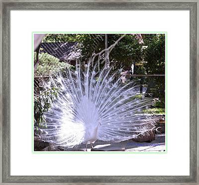 Majestic White Peafowl Framed Print by Sonali Gangane