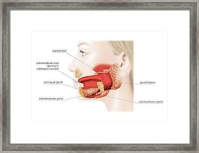 Major Salivary Glands Framed Print by Asklepios Medical Atlas