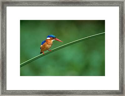 Malachite Kingfisher Tanzania Africa Framed Print by Panoramic Images