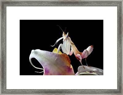 Malaysian Orchid Mantis Framed Print by Alex Hyde