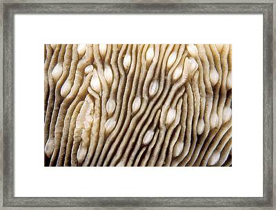 Maldives Texture Montipora Danae Framed Print by Anonymous